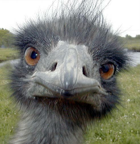 Close Up Emu
